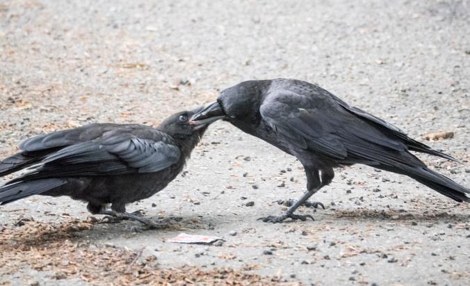 Baby Crow Feeding