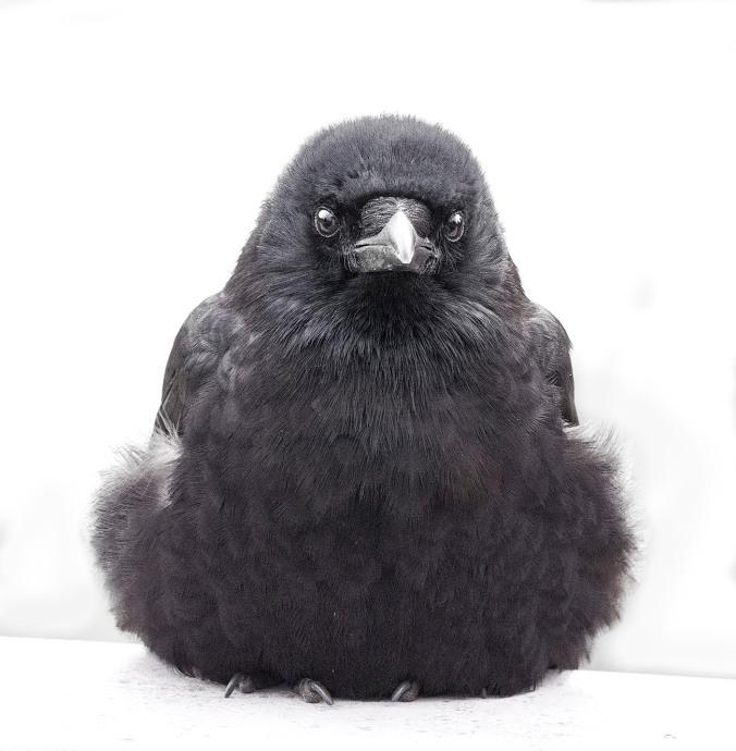 Crow Conversation