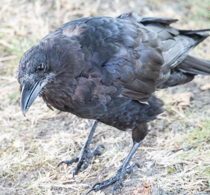 Multicolour Molting Crow