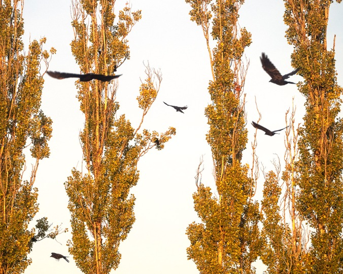 Golden Poplars and Crows