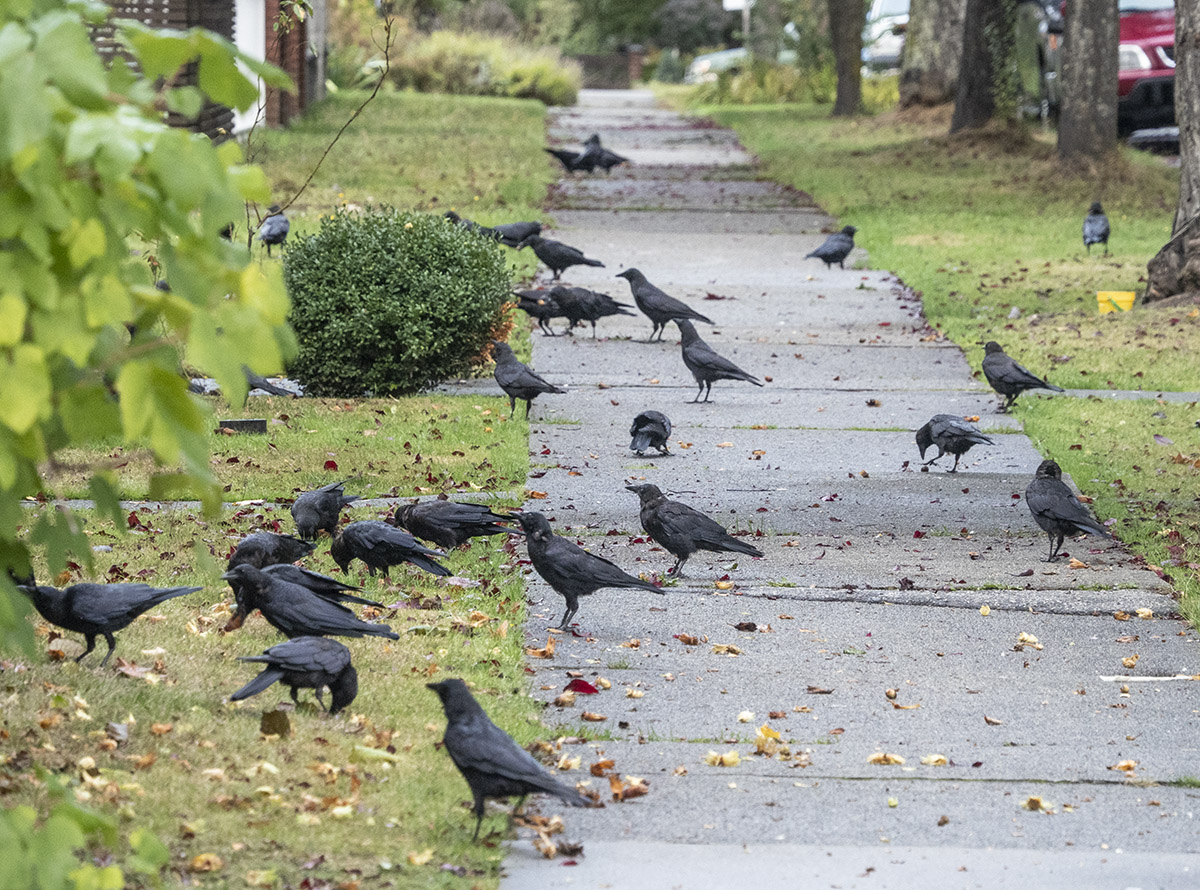 Crow Crowd