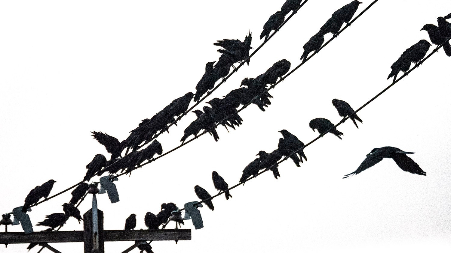 crow crowd on wires