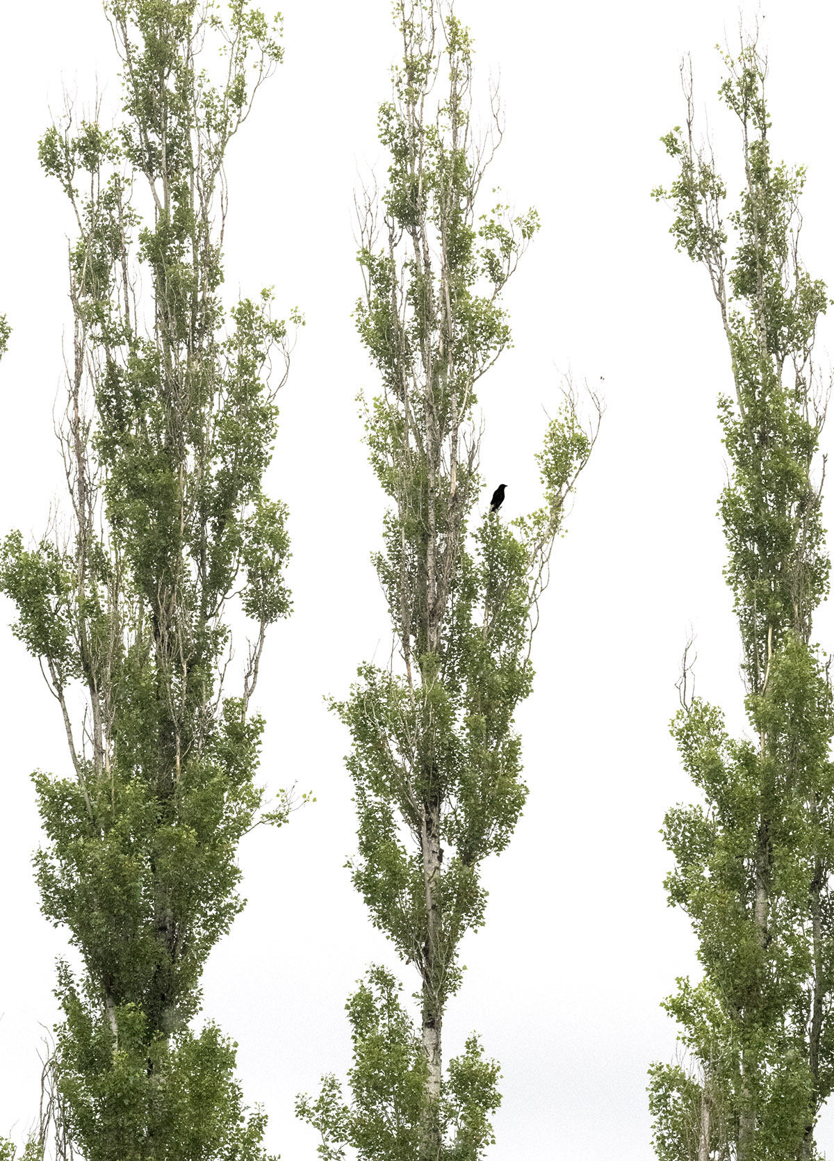 Crow in the poplars