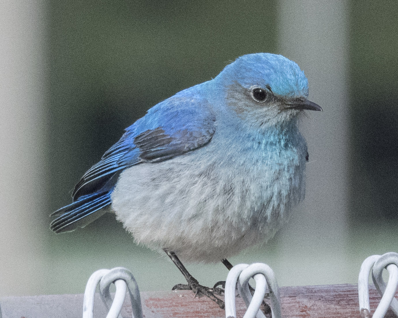 Mountain Bluebird on Chainlink