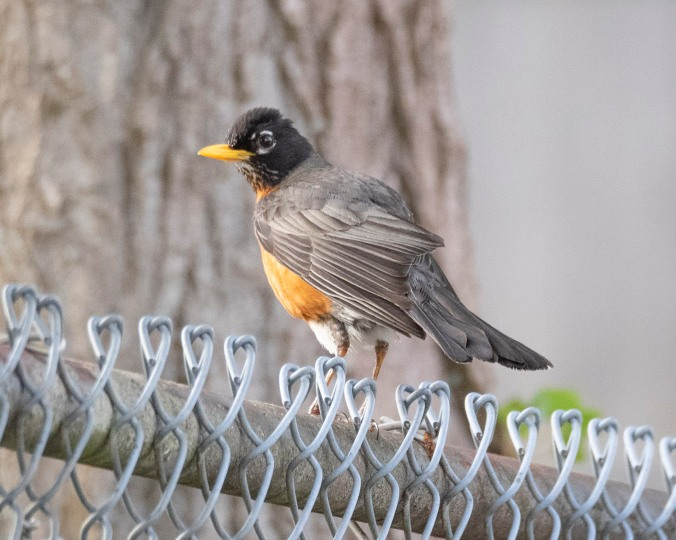 Robin on School Fence