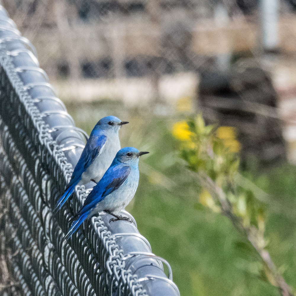 Two male Mountain Bluebirds
