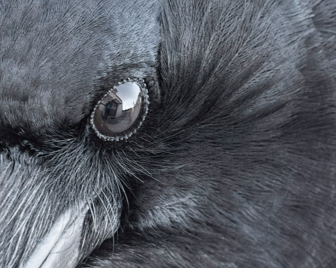 Crow's Eye Close Up