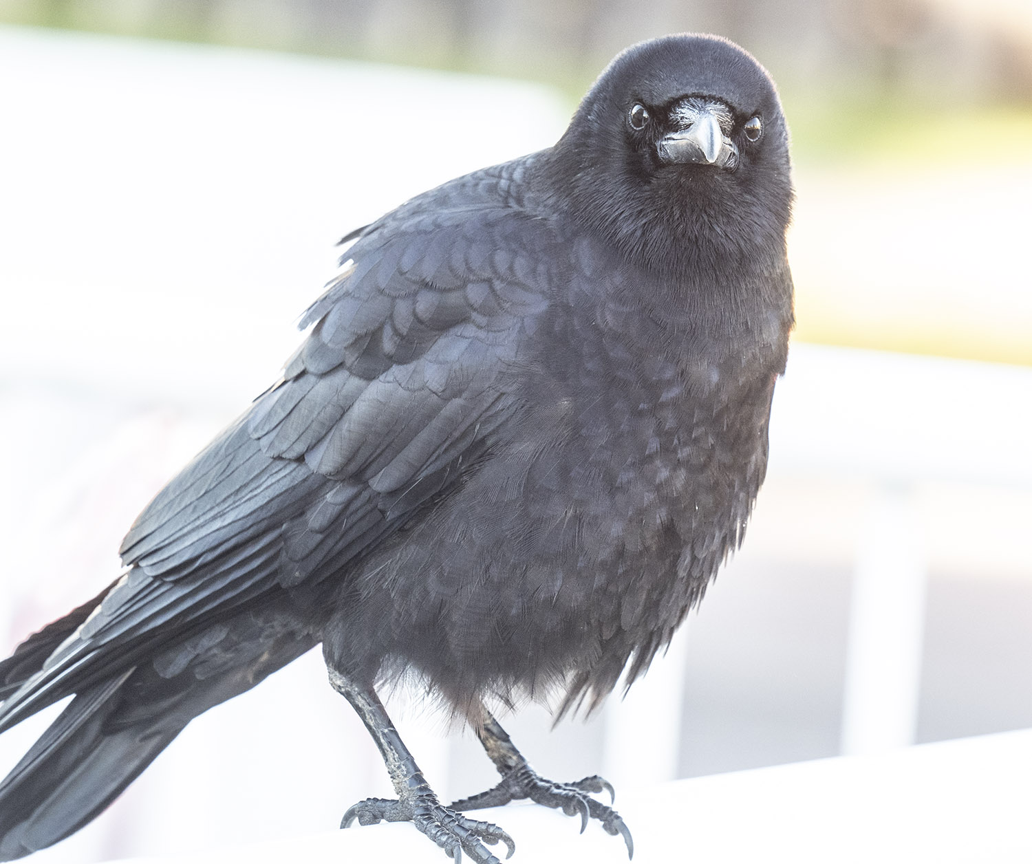 Slocan Street Crow Dec 2018