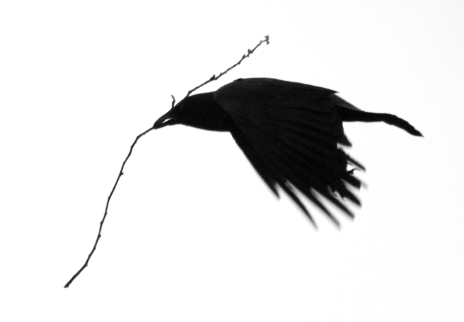 Twig Carrying Crow