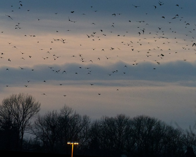 Still Creek Crow Roost. Photo by June Hunter. ©junehunterimages2018 www.junehunter.com