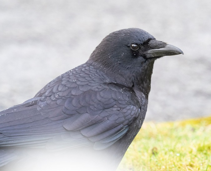 Portrait of a crow, photograph by June Hunter<br /> ©junehunterimages2019<br /> www.junehunter.com