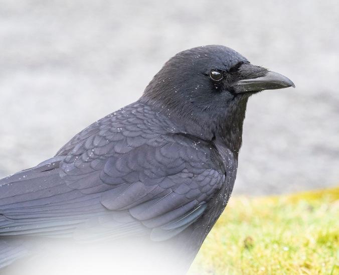 Portrait of a crow, photograph by June Hunter<br /> ©junehunterimages2019<br /> www.junehunter.com