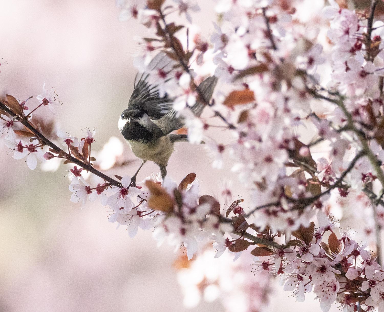 Busy Chickadee in Plum Tree