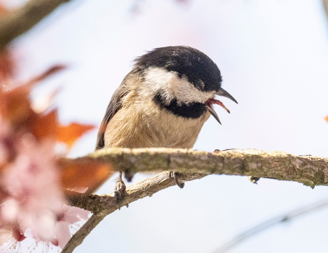 Chickadee Cough