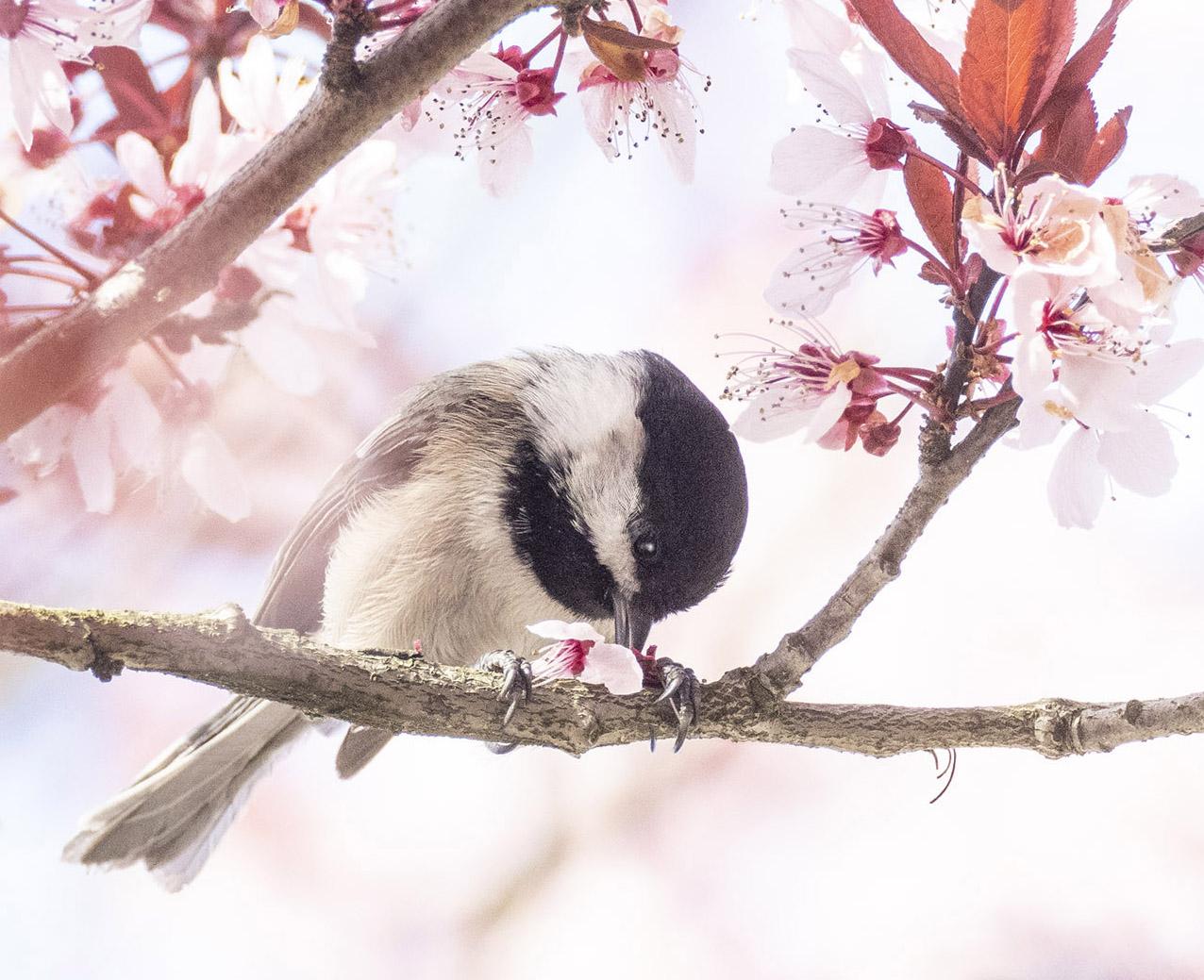 Chickadee with Plum Blossom Flower