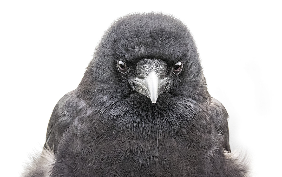 Mavis the Crow Portrait