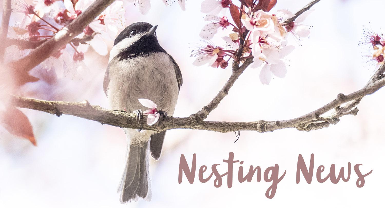 Nesting News Chickadee and Blossom