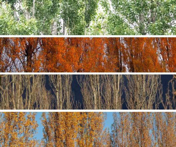 poplar seasons
