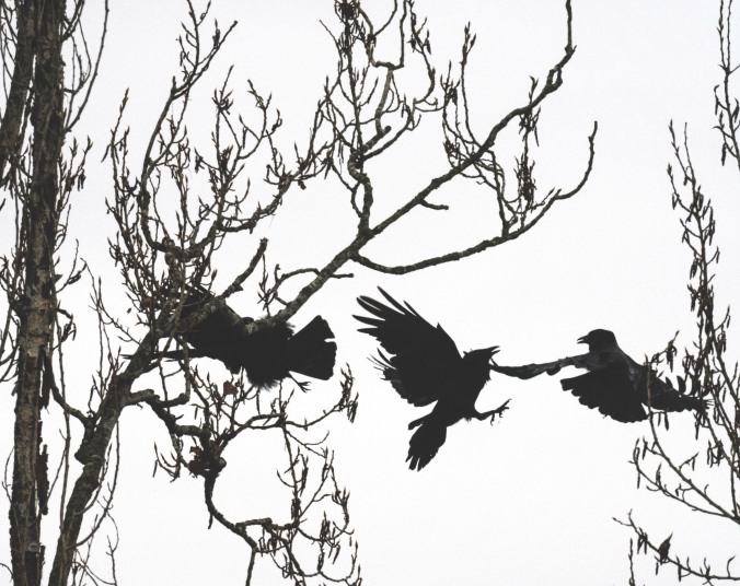 Crow skirmish