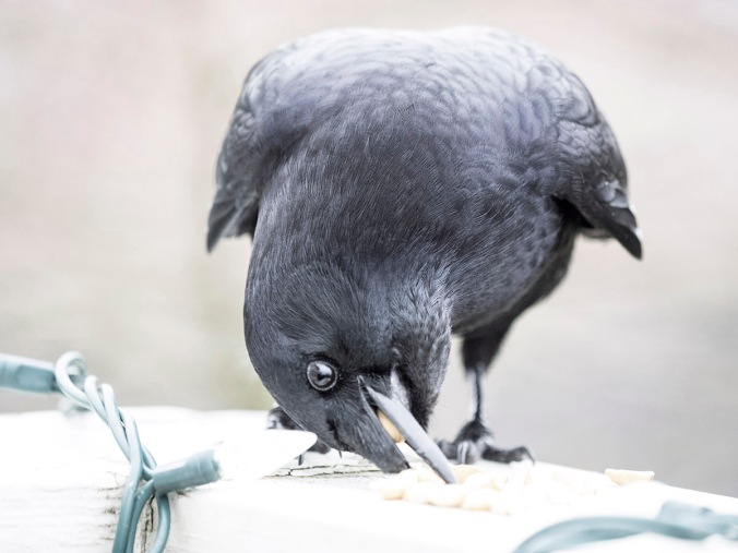 George the Crow eating peanuts
