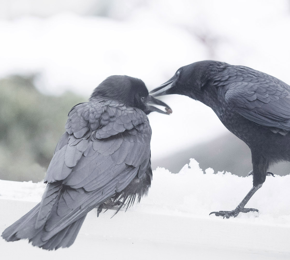 Baby Crow and Parent