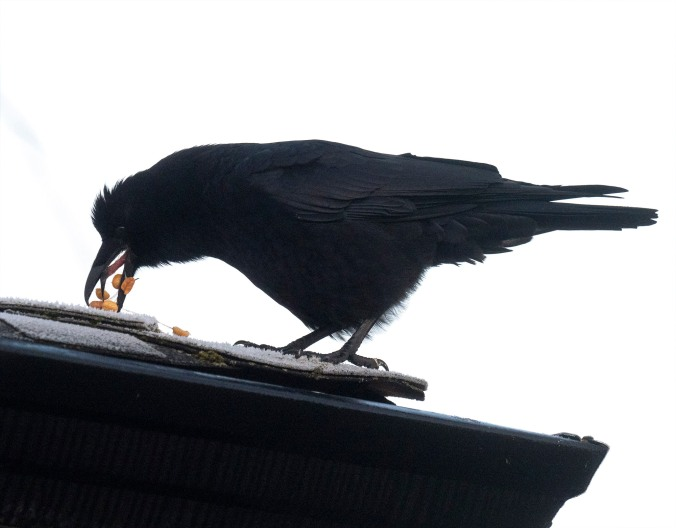 Crow Regurgitates Peanuts