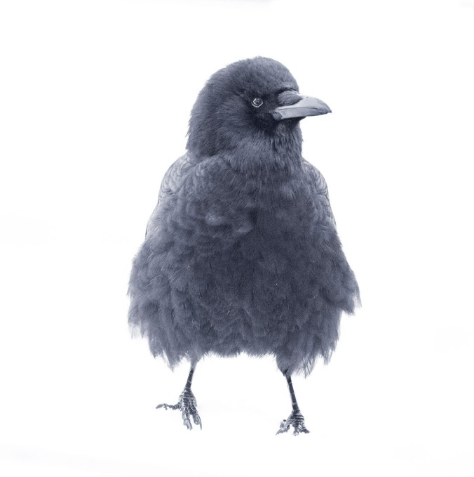 Fluffy Mabel the Crow