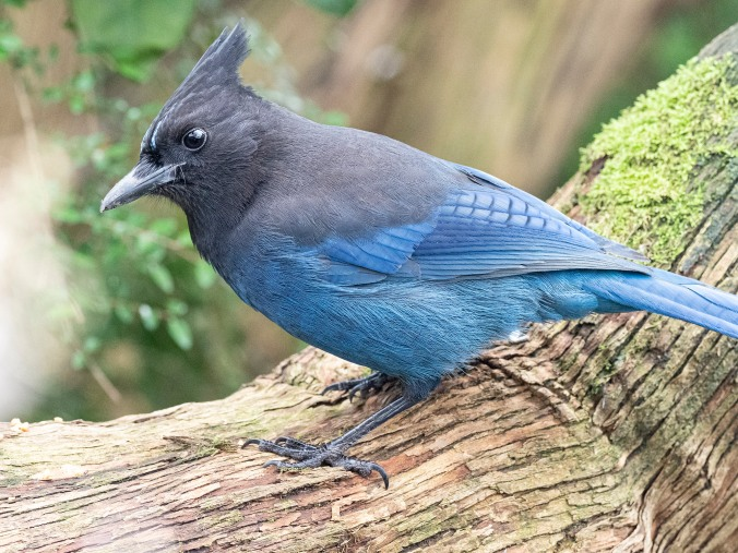 Stellers Jay on mossy log
