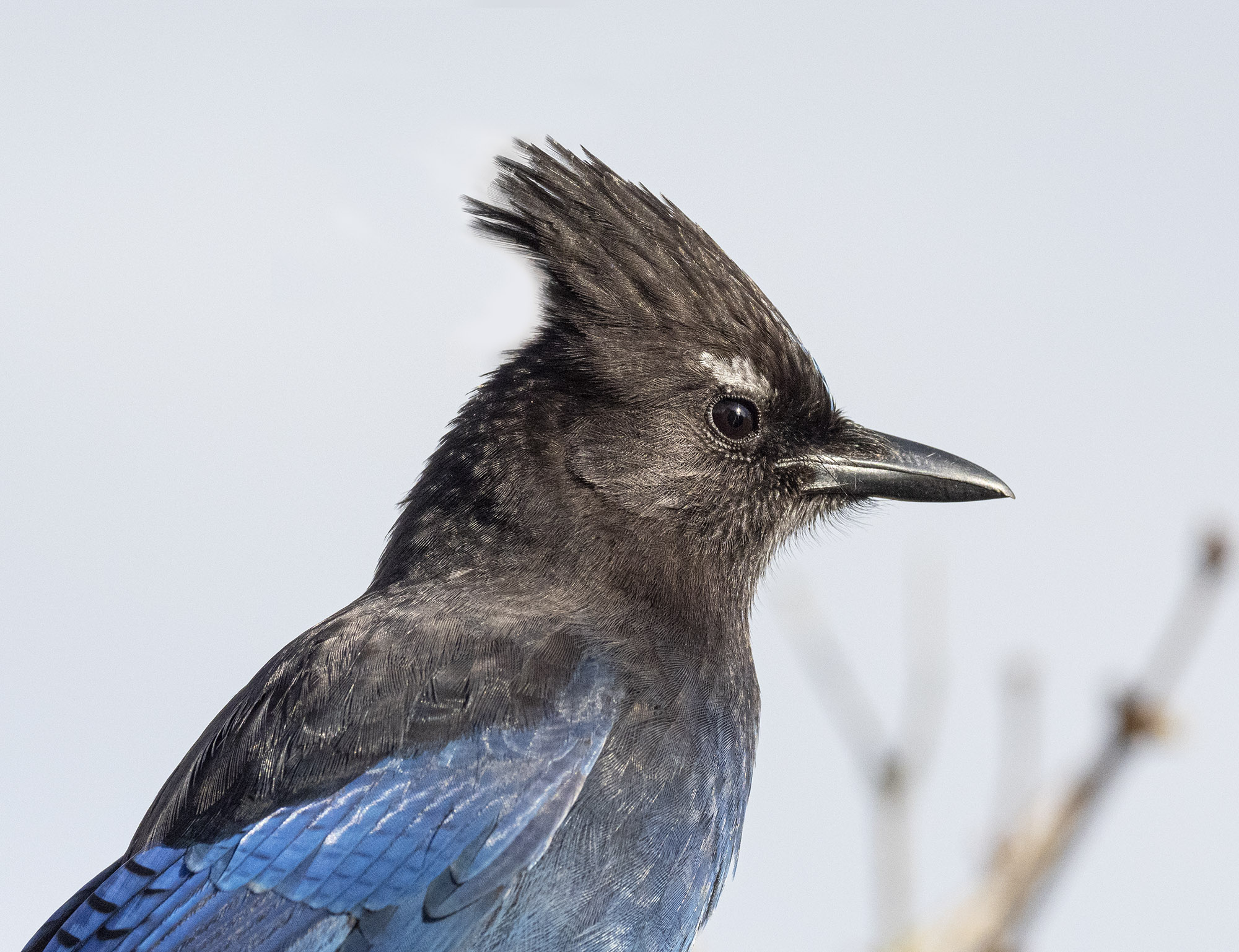 Steller's Jay with Eyebrows