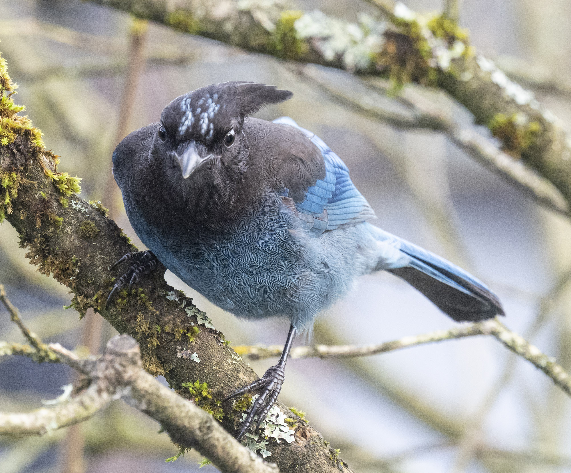 Windy day Steller's Jay