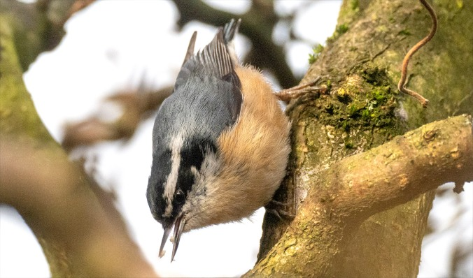 Nuthatch upside down in hazel tree