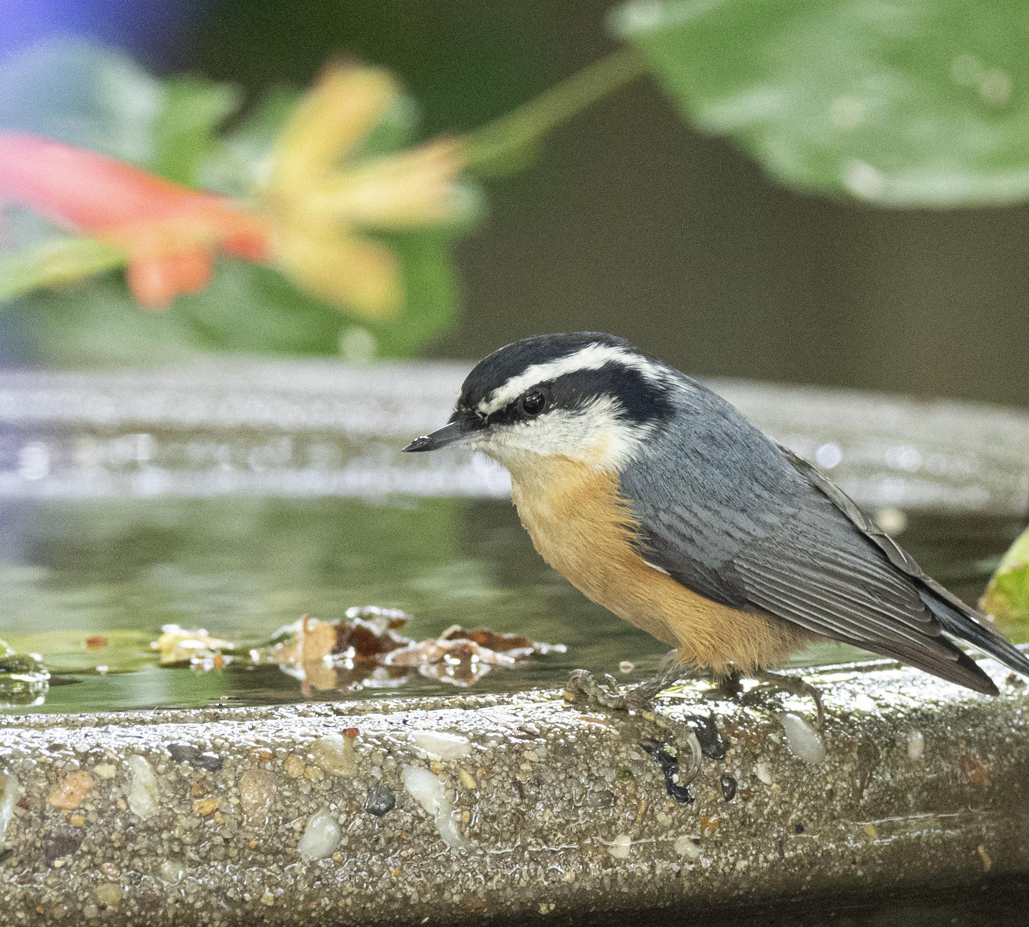Nuthatch at Bird Bath