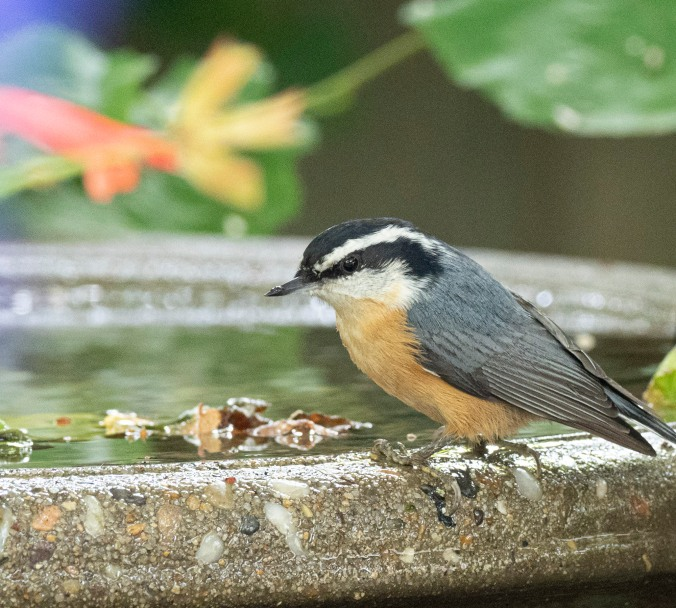 Nuthatch at Bird Bath