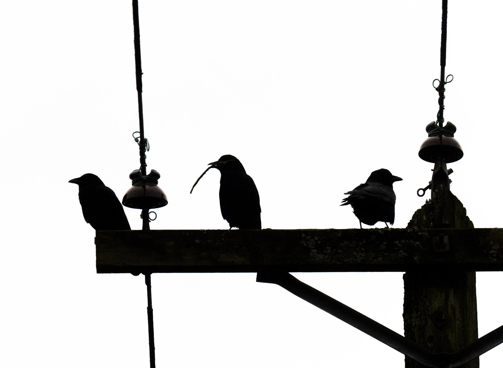 Three crows silhouette