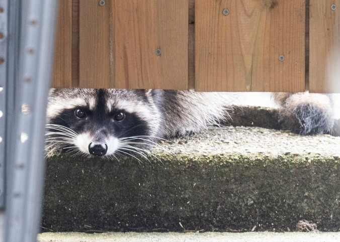 Raccoon under gate
