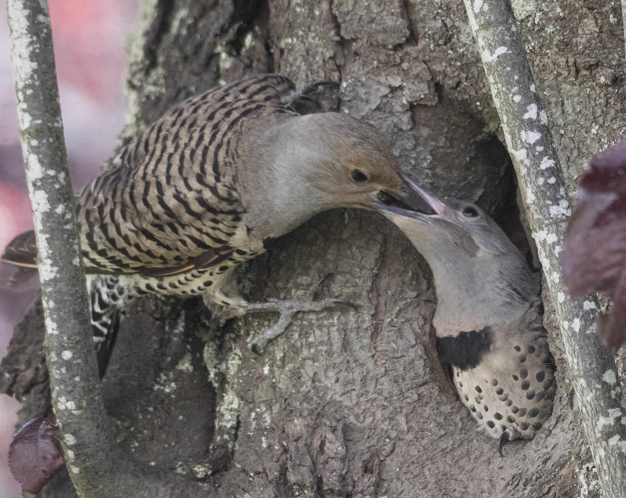 Northern Flicker fledgling being fed by parent