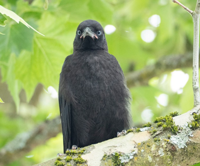 Newly fledged crow