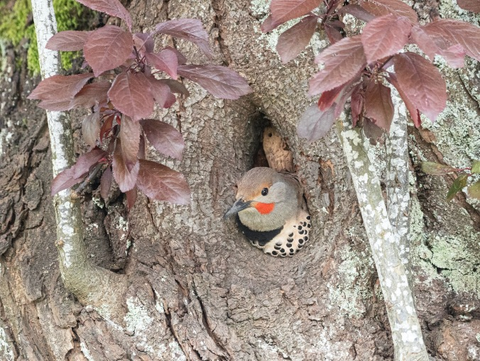 Northern Flicker in Nest