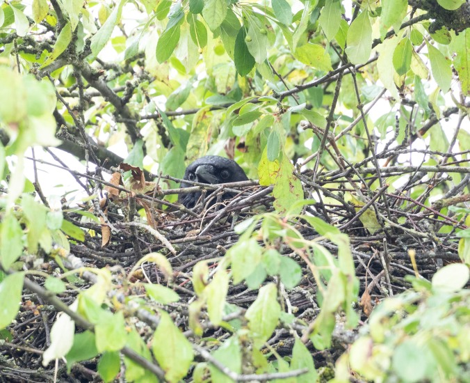 Crow on Nest June 8 2020