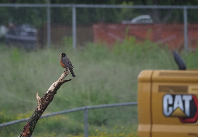 Robin on some tree debris, June 14