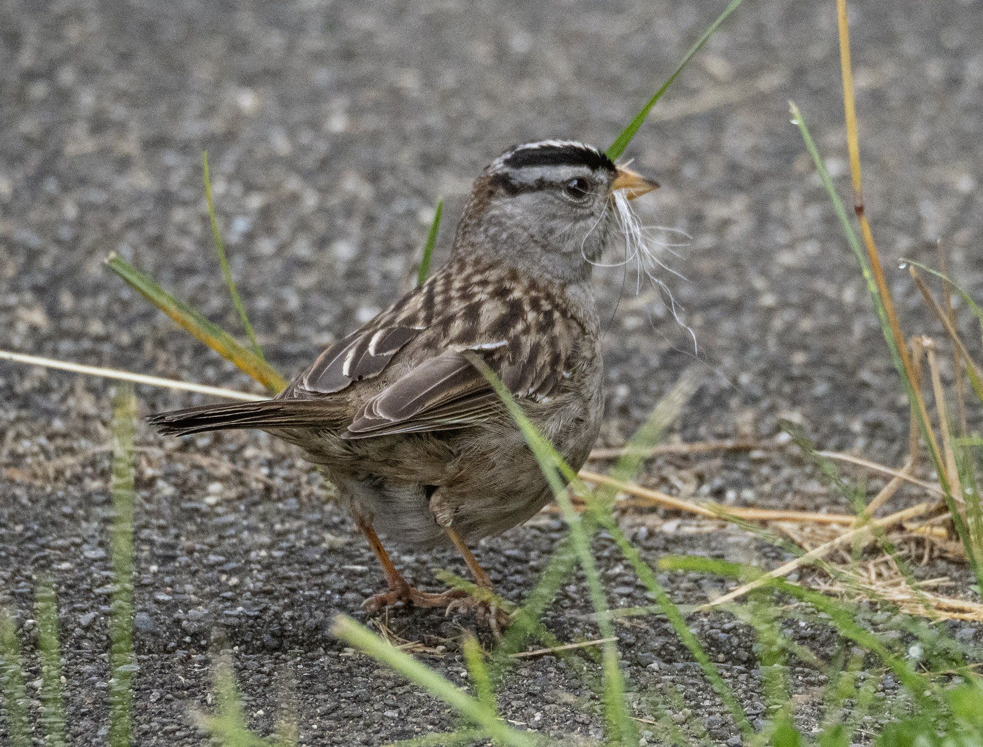 White Crowned Sparrow with Nest Lining