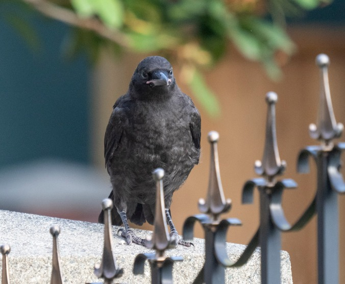 Mabel baby crow with railings