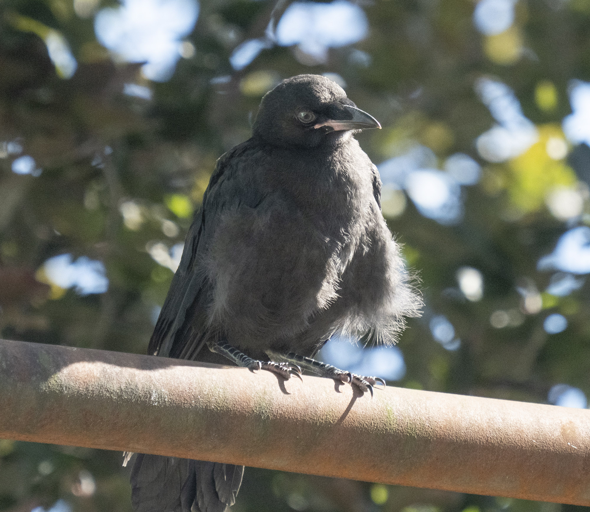 Mabel baby crow Jul 18 2020