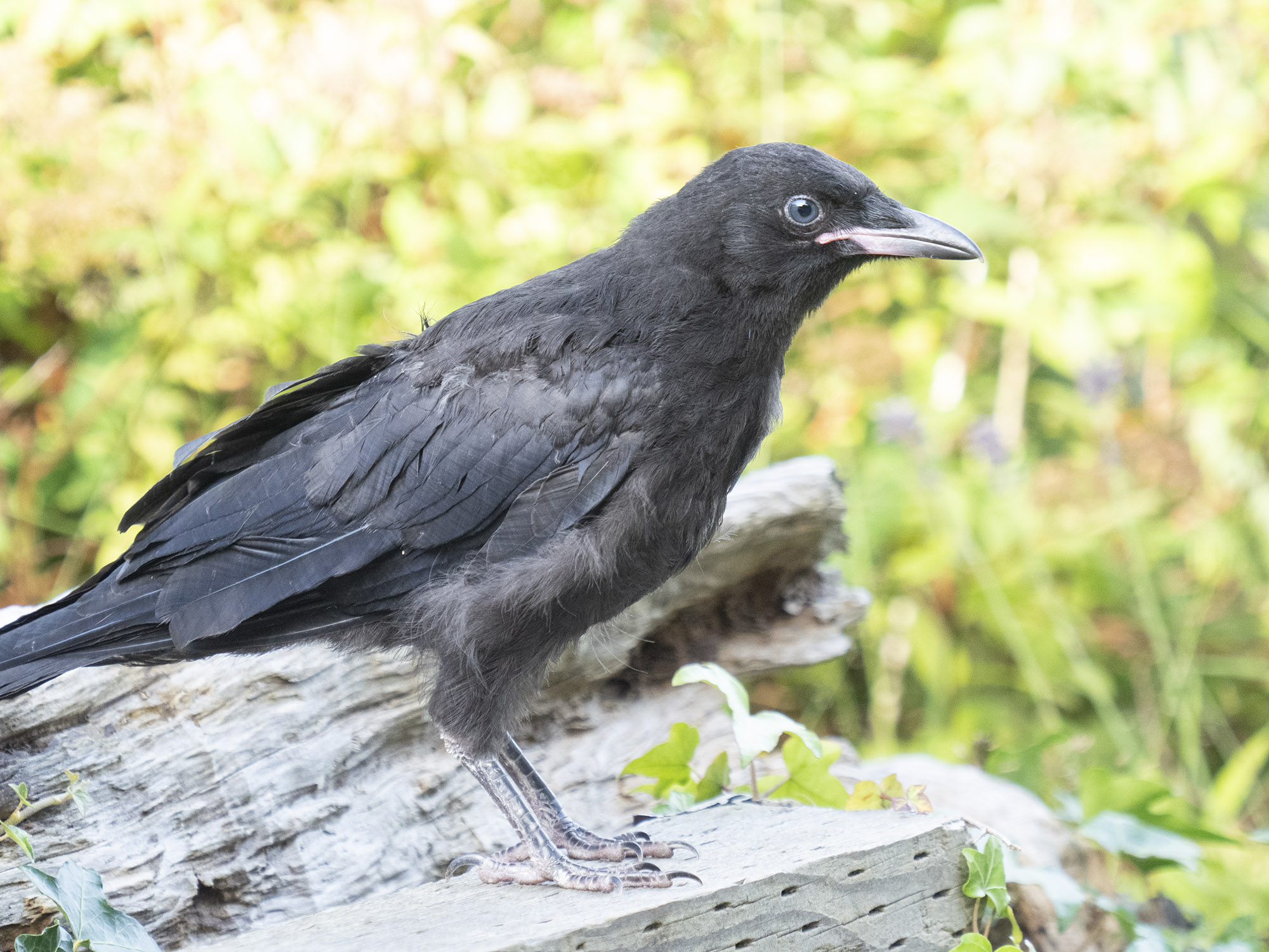 Mabel crow fledgling jul 28