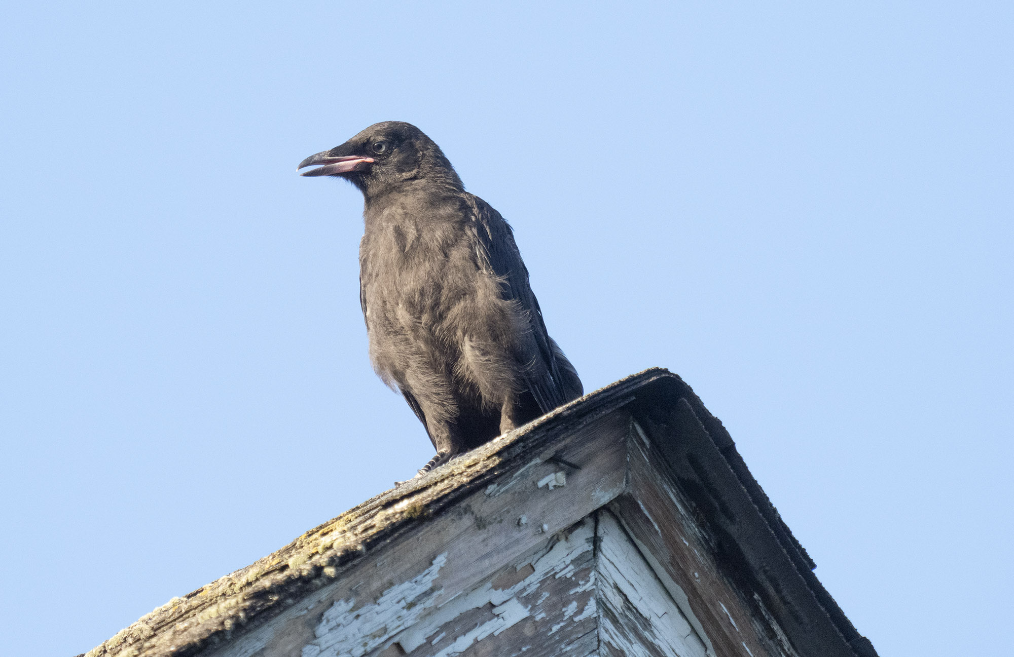 Fledgling crow on a peeling roof