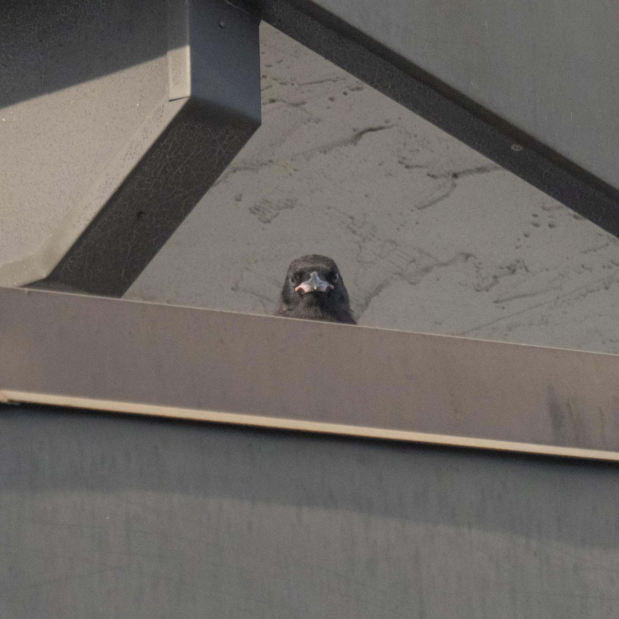 Baby Crow pop up