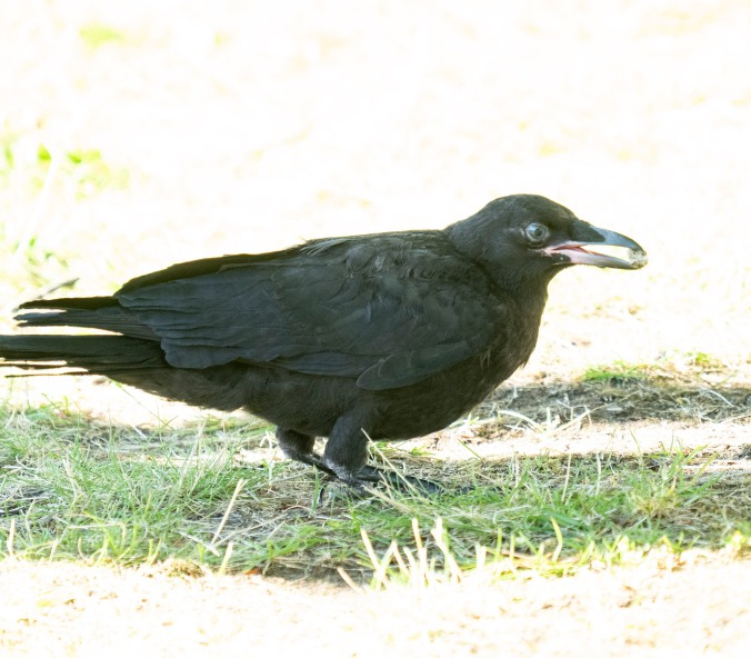 Fledgling crow with pebble