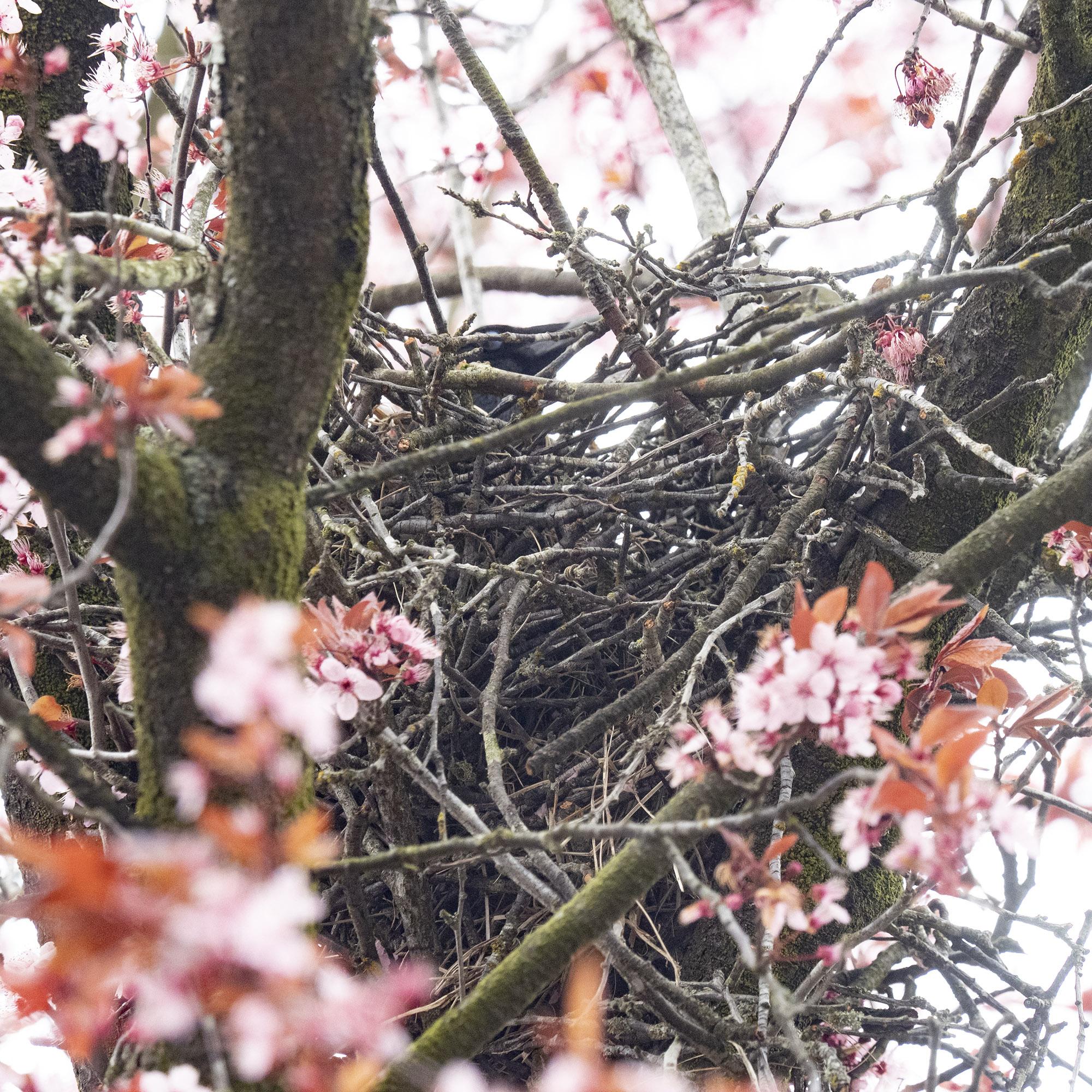Blossom Crow's Nest