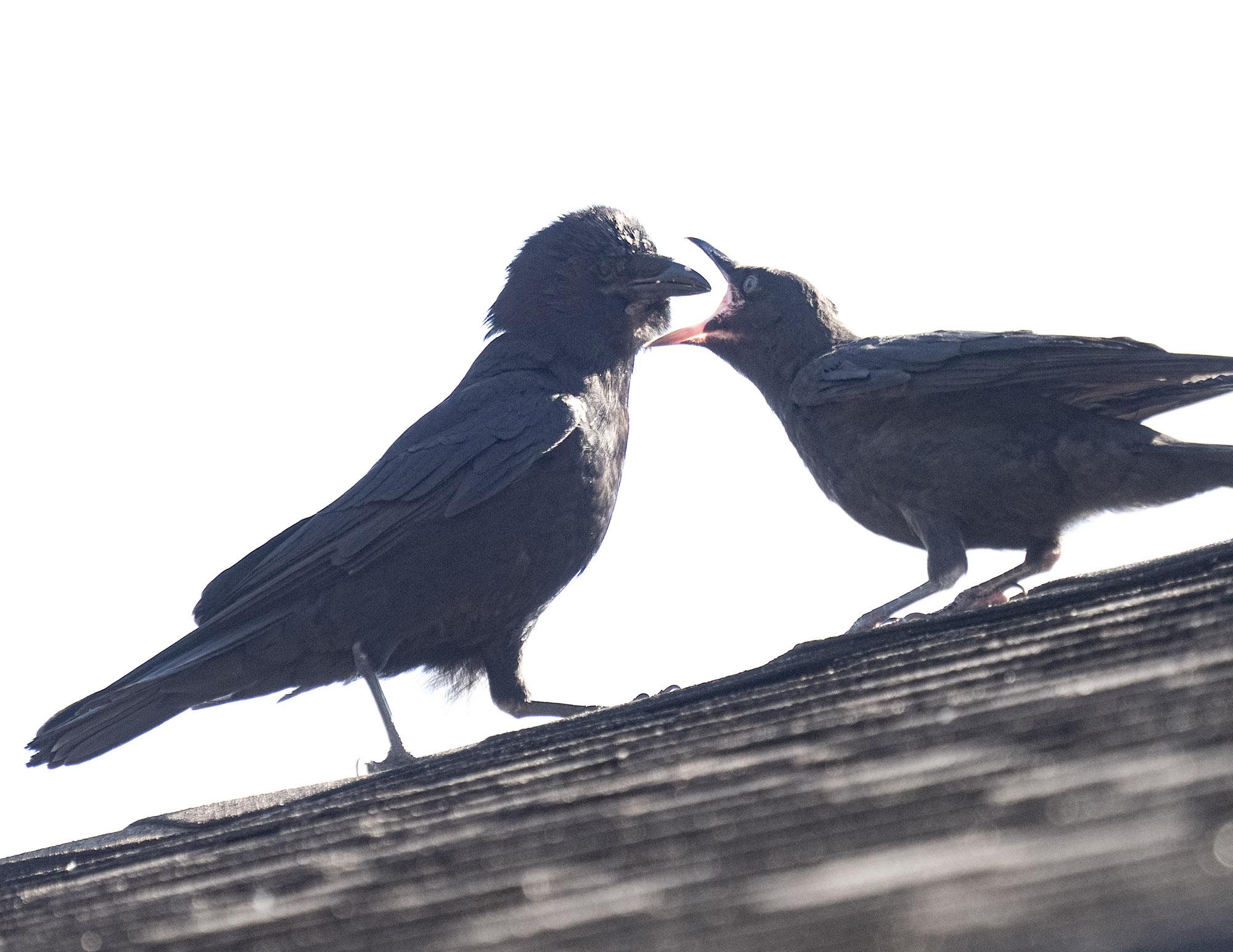 Mabel feeding fledgling Jul 18